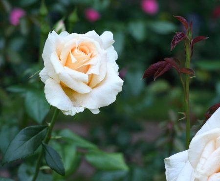 Róża (Rosa) 'Casanova'