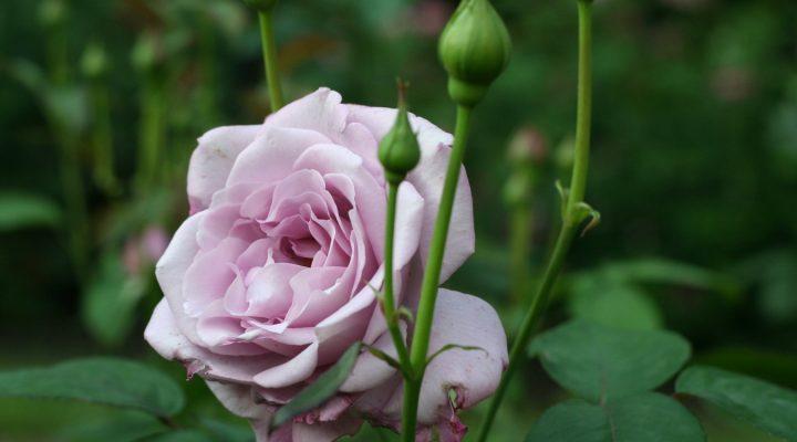 Róża (Rosa) 'Silver Star'