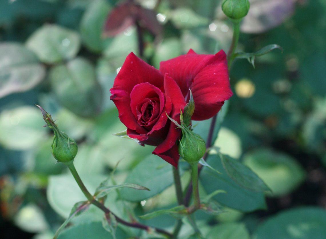Róża (Rosa) EROICA 'Erotica'