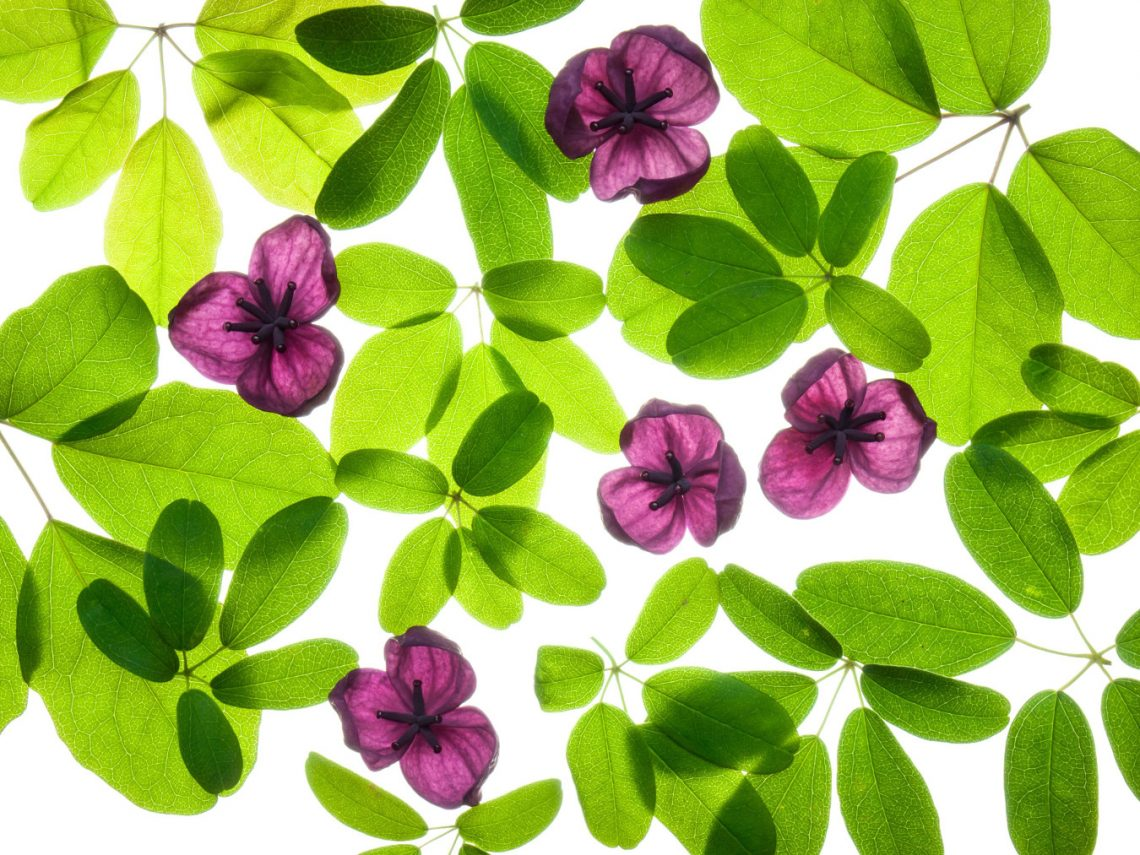 Akebia pięciolistkowa (Akebia quinata)