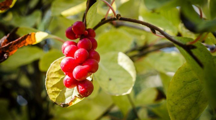Cytryniec chiński (Schisandra chinensis)