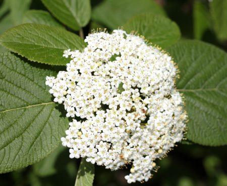 Kalina hordowina (Viburnum lantana)