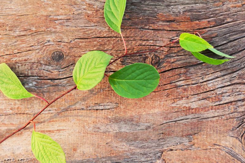 Cytryniec chiński (Schisandra chinensis).