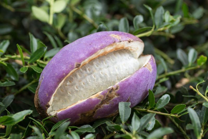 Akebia pięciolistkowa (Akebia quinata) – owoce.