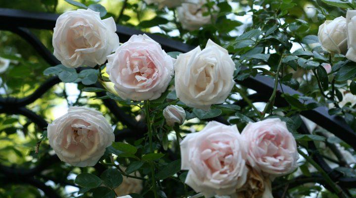 Róża (Rosa) 'New Dawn'