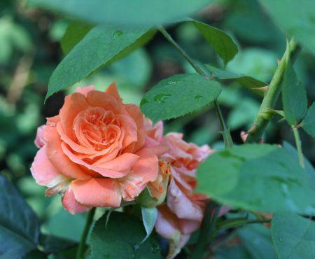 Róża (Rosa) FLORA DANICA 'Poulrim'