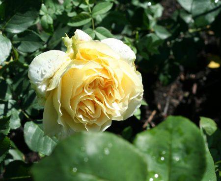 Róża wielkokwiatowa (Rosa) 'Tivoli'