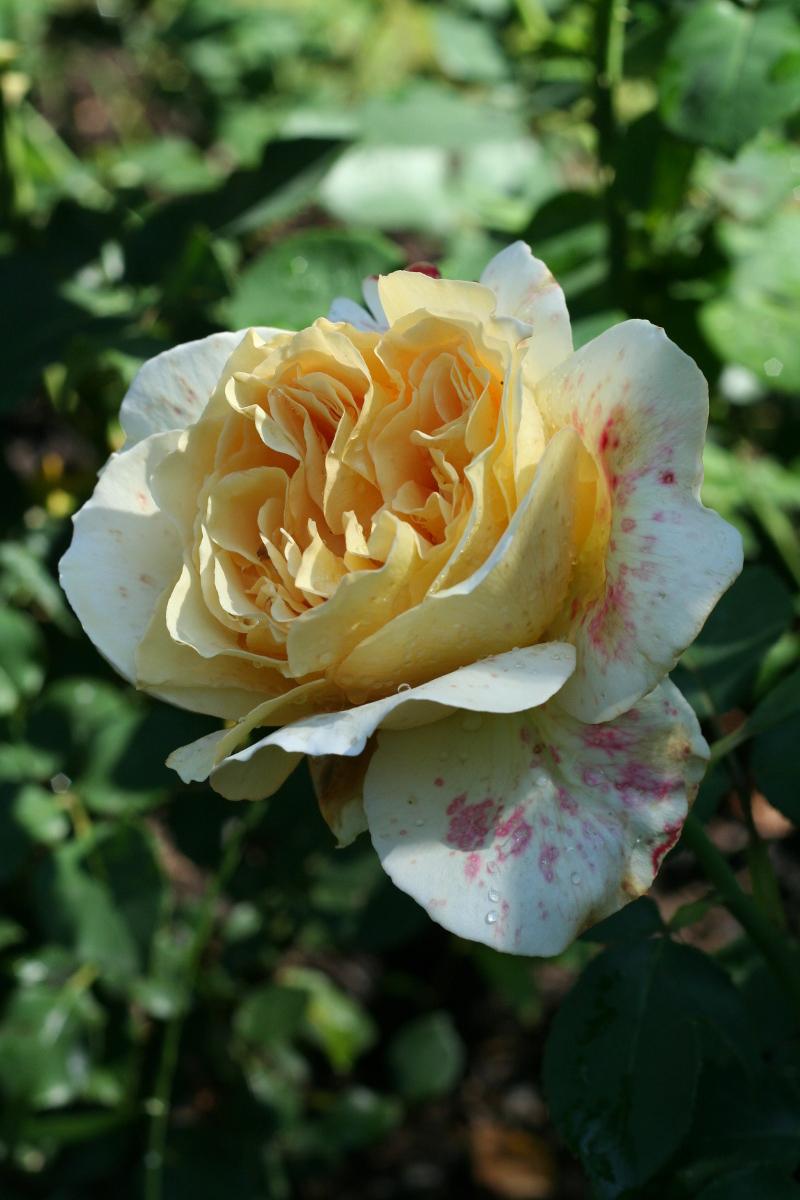 Róża (Rosa) 'Tivoli'.