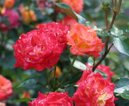 Róża wielokwiatowa (Rosa multiflora) 'Samba'