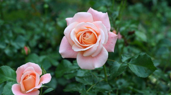 Róża (Rosa) 'Kalmar'