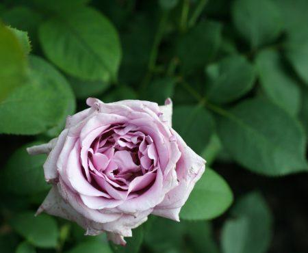 Róża (Rosa) MAINZER FASTNACHT