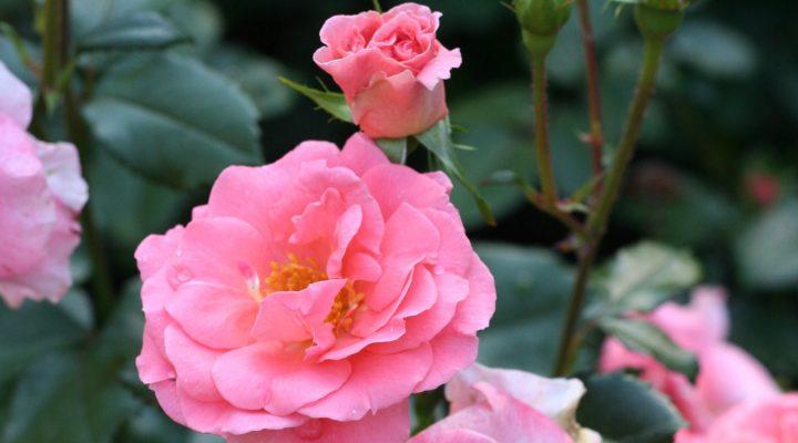 Róża (Rosa) KALINKA