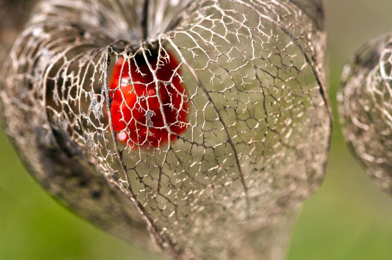 Miechunka rozdęta – owoc.