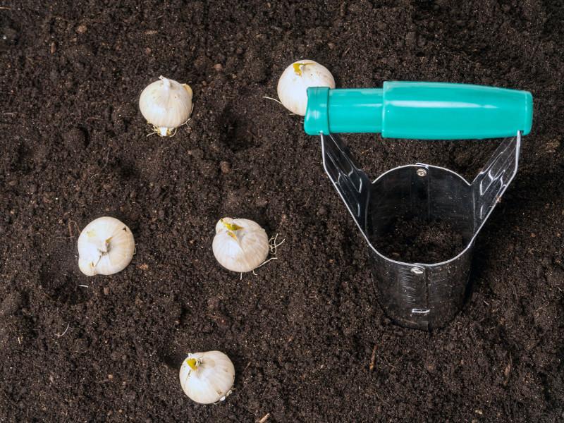 Sadzenie cebul roślin kwitnących wiosną.