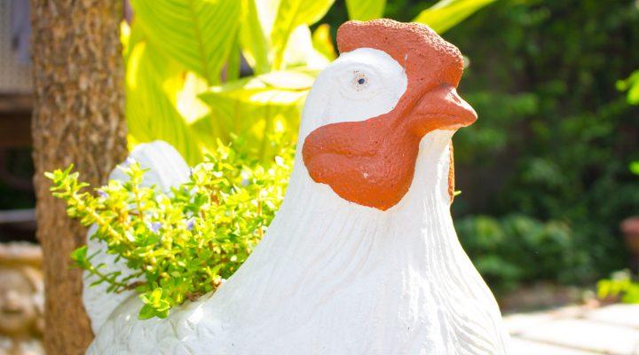 Kogut, kura czy kurczak?