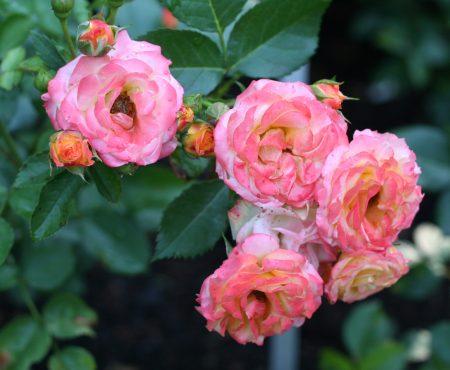 Róża (Rosa) 'Rumba'