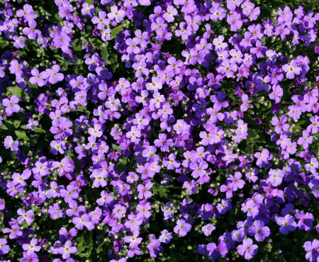 Żagwin ogrodowy (Aubrieta x cultorum)