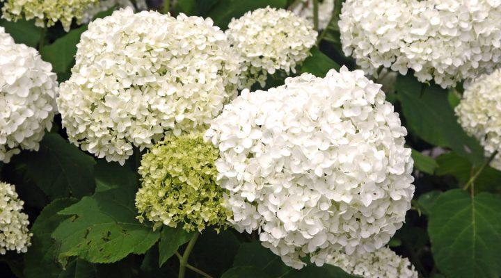 Hortensja krzewiasta (Hydrangea arborescens) 'Annabelle'