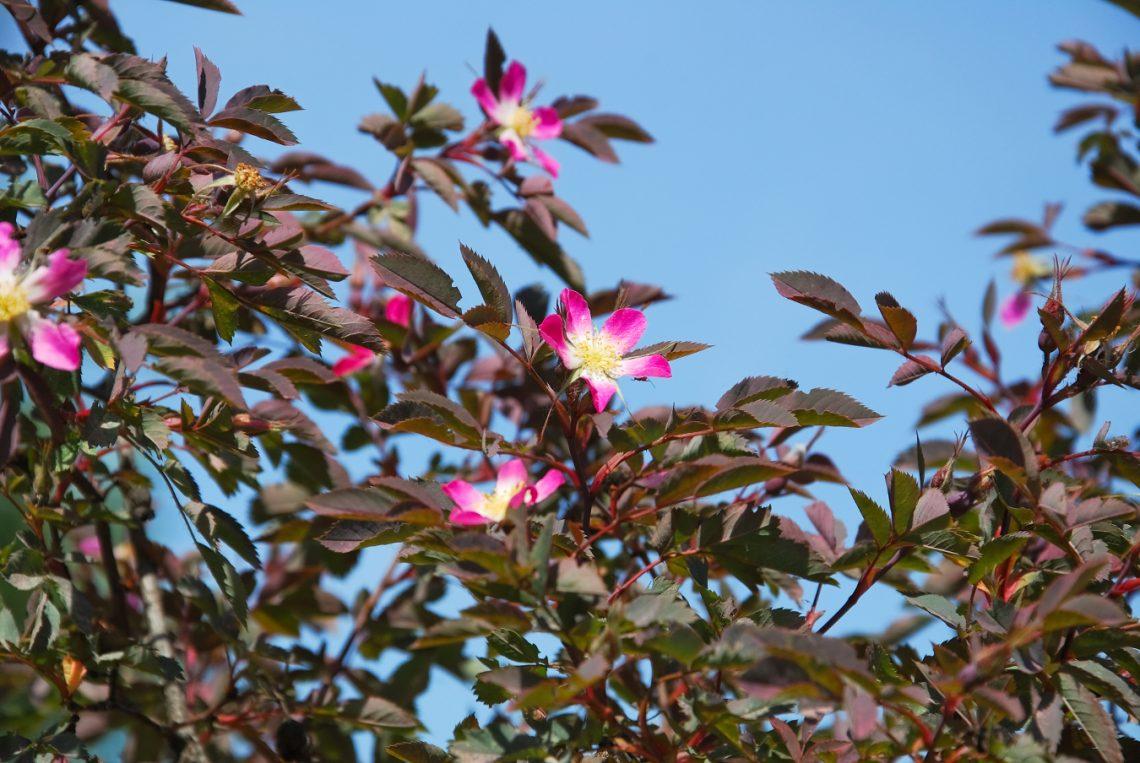 Róża czerwonawa (Rosa glauca)