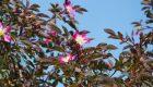Rozchodnik łopatkowaty (Sedum spathulifolium)