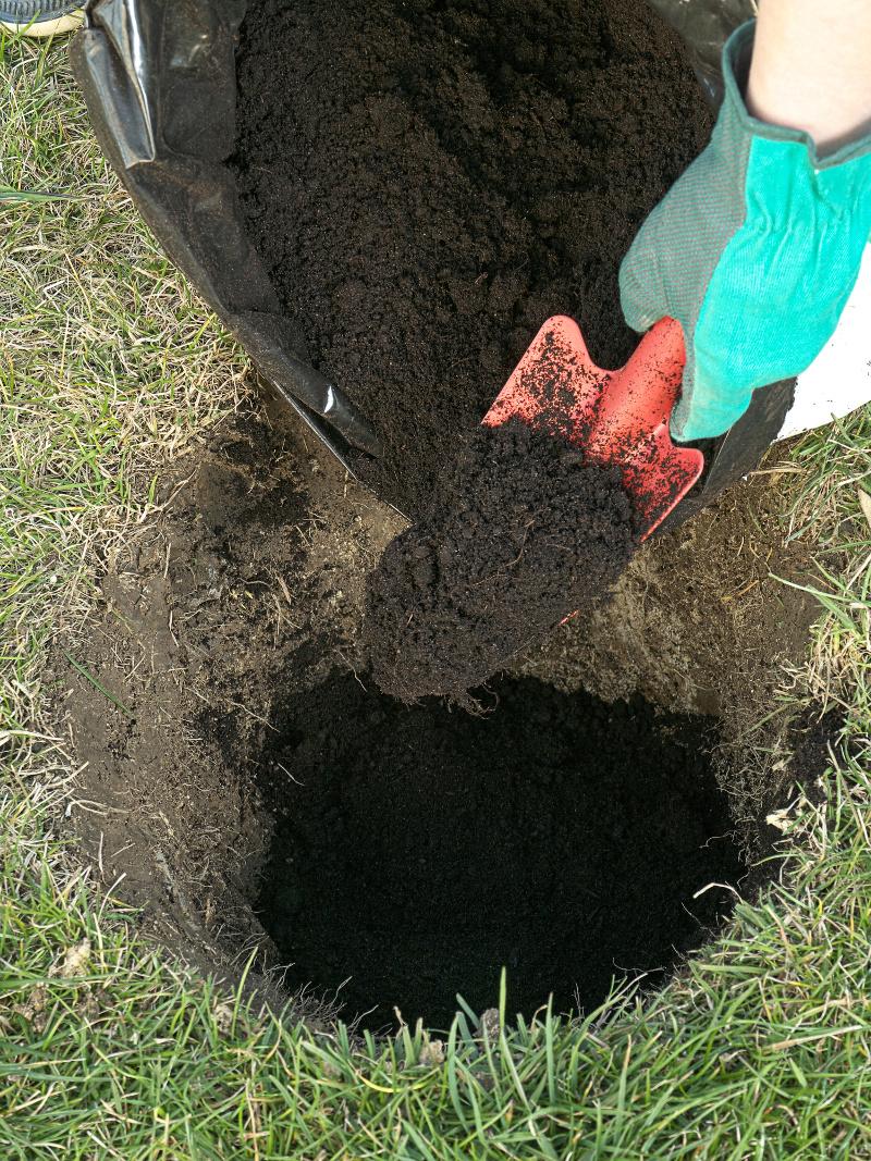 Dół zaprawiamy żyznym podłożem ogrodniczym.