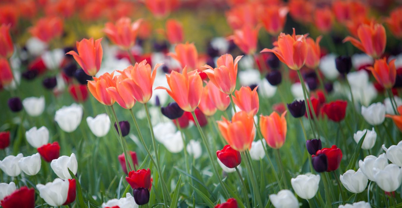 Rabata z tulipanami – projekt