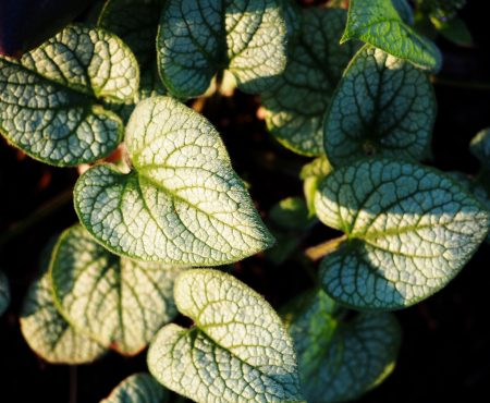 Brunnera wielkolistna (Brunnera macrophylla) 'Jack Frost'