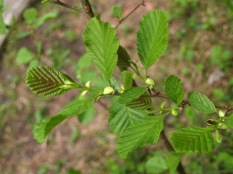 Olsza czarna (Alnus glutinosa) – liście wiosną.