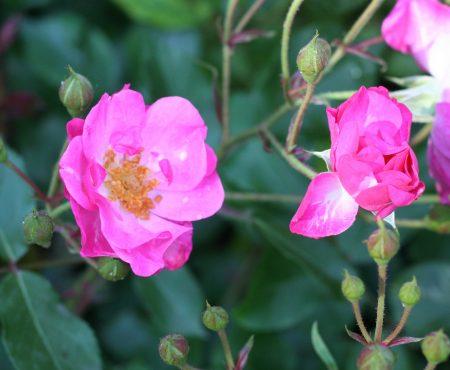 Róża (Rosa) 'Ballerina'