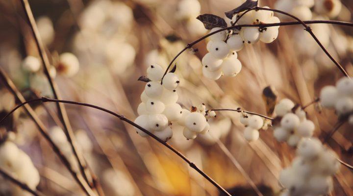 Śnieguliczka biała (Symphoricarpos albus)