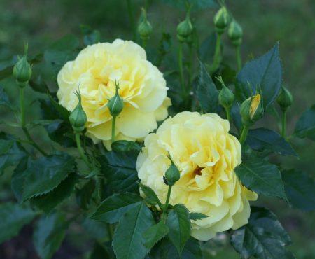 Róża FRIESIA 'Korresia'