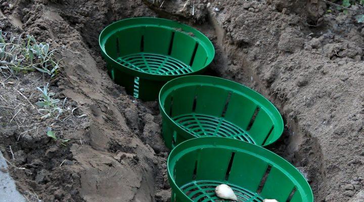 Sadzenie roślin cebulowych w koszyczkach