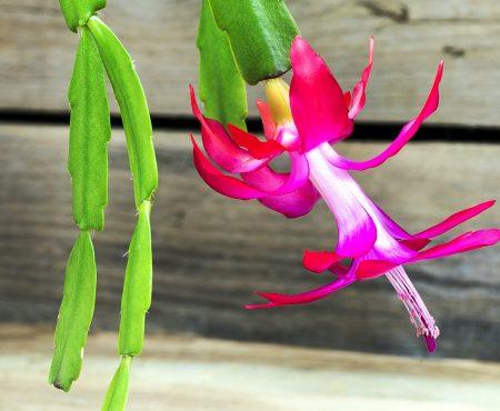 Kaktus Bożego Narodzenia: zasady pielęgnacji