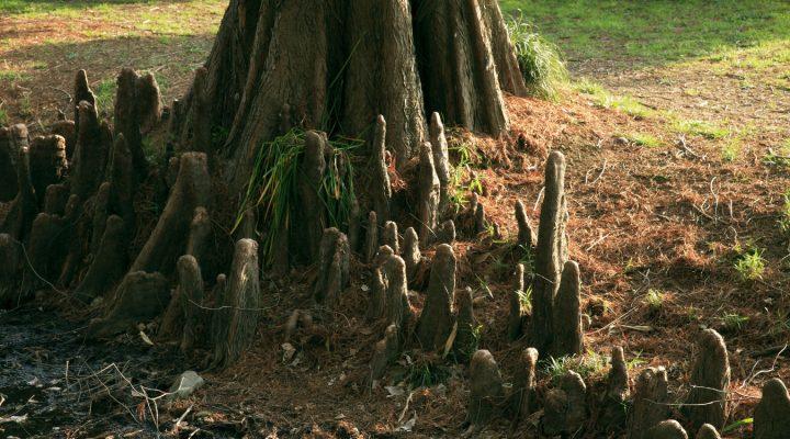 Cypryśnik błotny (Taxodium distichum)