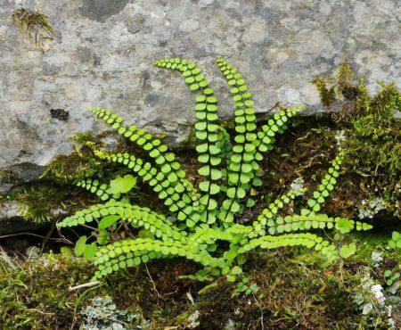 Zanokcica skalna (Asplenium trichomanes)