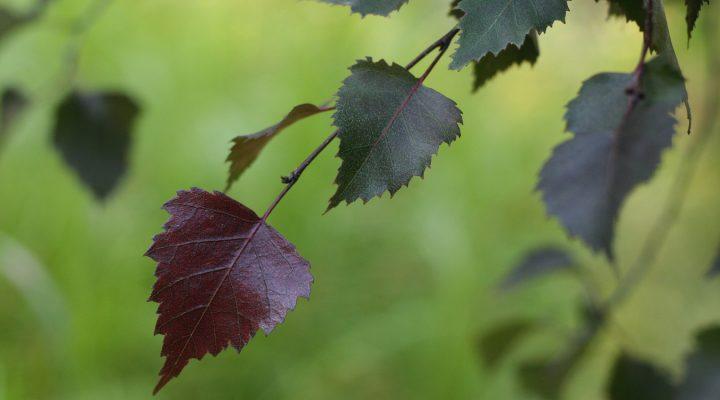 Brzoza brodawkowata (Betula pendula) 'Purpurea'