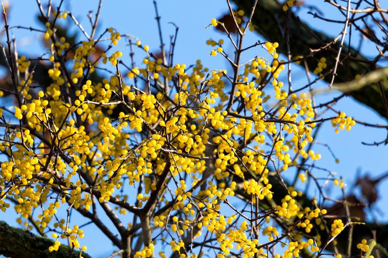 Gązewnik europejski (Loranthus europaeus)