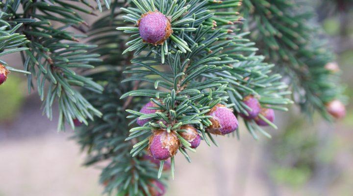 Świerk serbski (Picea omorika)
