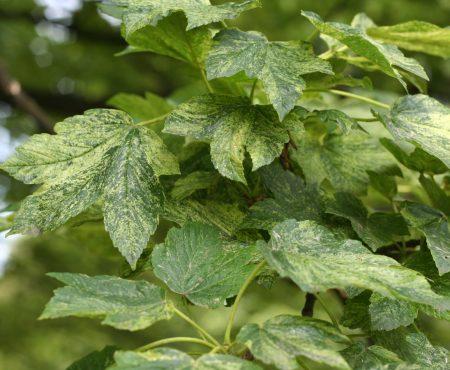 Klon jawor (Acer pseudoplatanus) 'Leopoldii'
