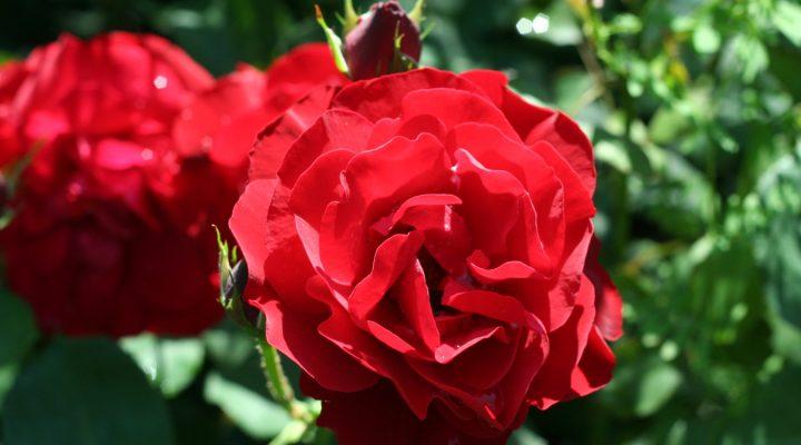 Róża (Rosa) 'Nina Weibull'