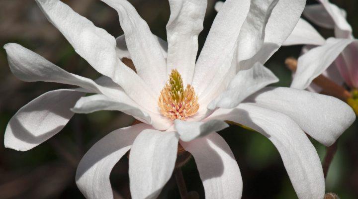 Magnolia gwiaździsta (Magnolia stellata)