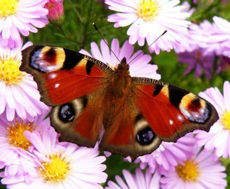 Jak przywabić motyle do ogrodu