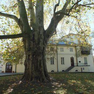 Sylwetki drzew finalistów – Drzewo Roku 2017