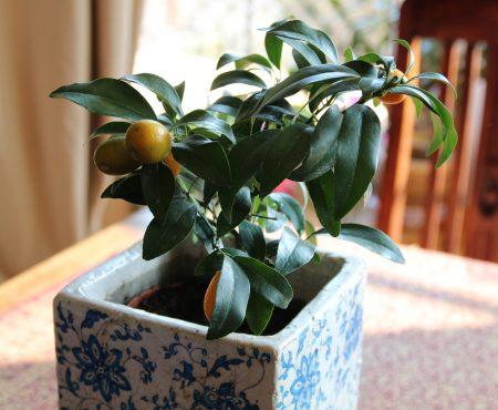 Kumkwat – uprawa i pielęgnacja