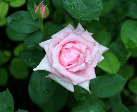 Róża (Rosa) 'Carinella'