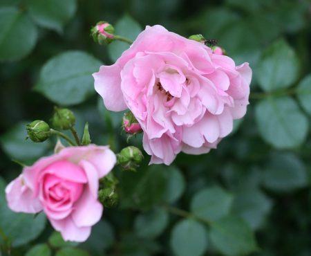 Róża (Rosa) BONICA'82