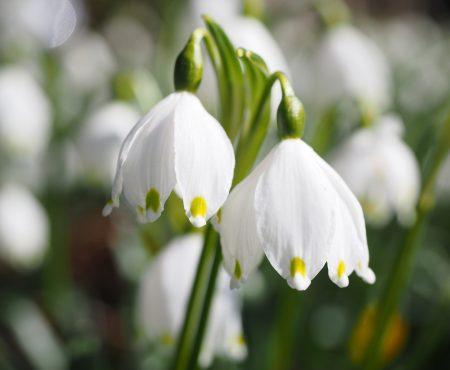 Śnieżyca wiosenna (Leucojum vernum)
