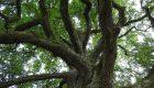 Glediczja trójcierniowa (Gleditsia triacanthos)