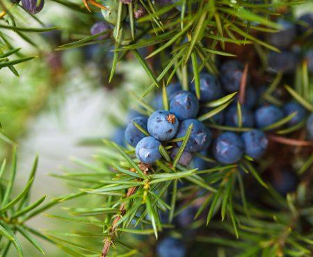 Jałowiec pospolity (Juniperus communis)
