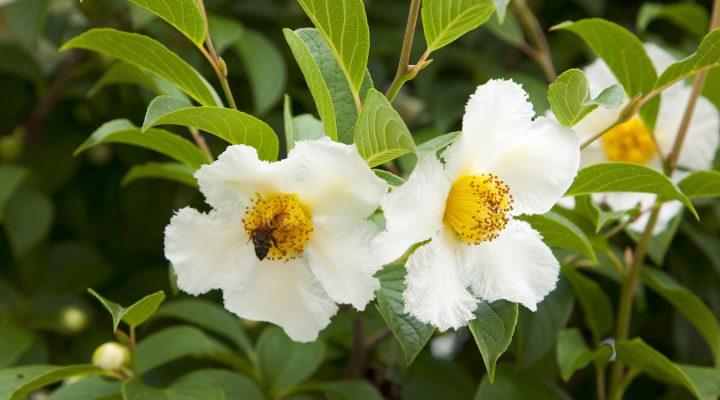 Stewartia nibykamelia (Stewartia pseudocamellia)